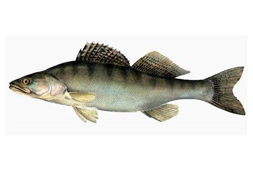 Как по внешнему строению можно отличить рыб отряда окунеобразных